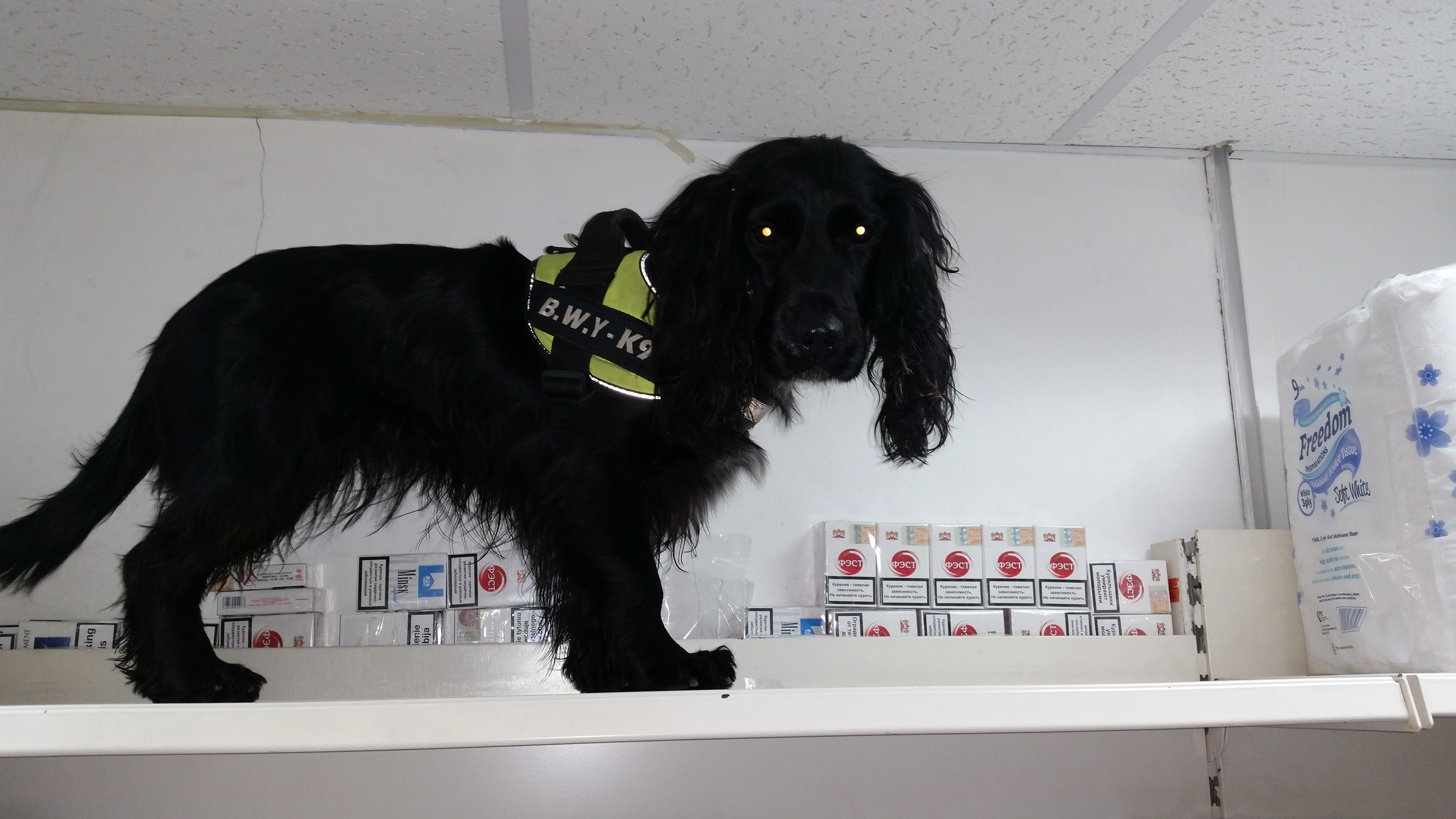 Sniffer dog Phoebe who assists Coventry Trading Standards